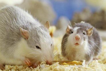 أسهل طرق للقضاء على الفئران