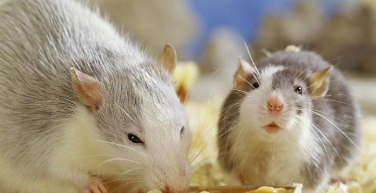 أسهل طرق القضاء على الفئران