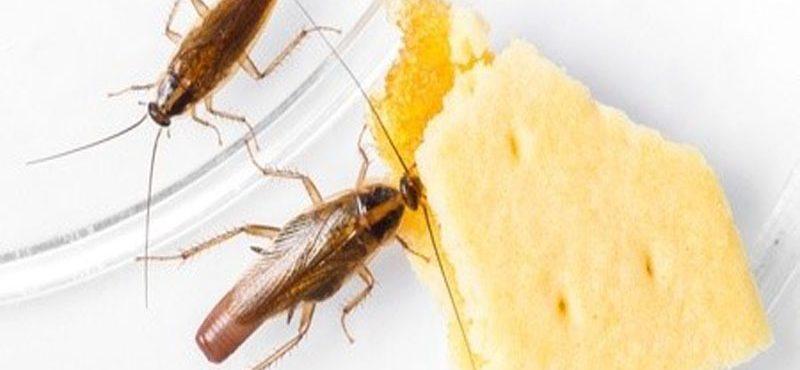طرق التخلص من الصراصير الصغيرة بالمطبخ
